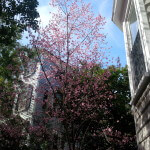 Charleston Tree in Bloom